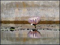 20070627175920 pastel water lilly (81575588).jpg