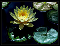 water lillies b