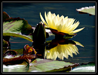 water lillies a