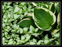 hosta in the ground cover