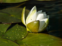 20090730182723 water lilly 7 (115551468).jpg