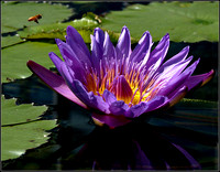 20060827135637 bee and waterlily (65909963).jpg