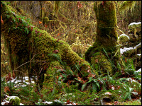 20051204143943 Hoh Rainforest 2 (106170637).jpg