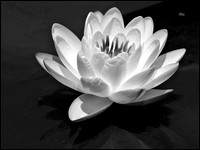20070614123231 water lily 3 (80540786).jpg