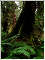 20051204150921 hoh rainforest 9 (53445876).jpg