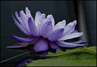 20080727125812 water lily 3 (101275591).jpg