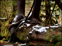 20051204144233 hoh rainforest 3 (106170991).jpg