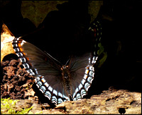 20070617132103 Red-spotted Purple Admiral (80782469).jpg