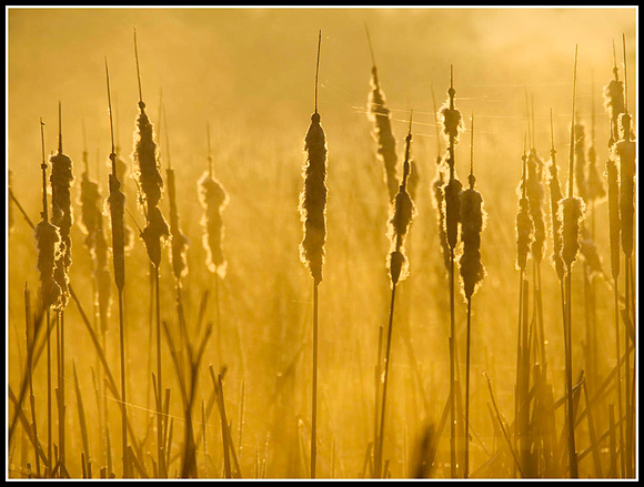 Cattails and fog 2