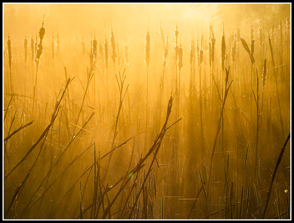 Cattails and fog 1