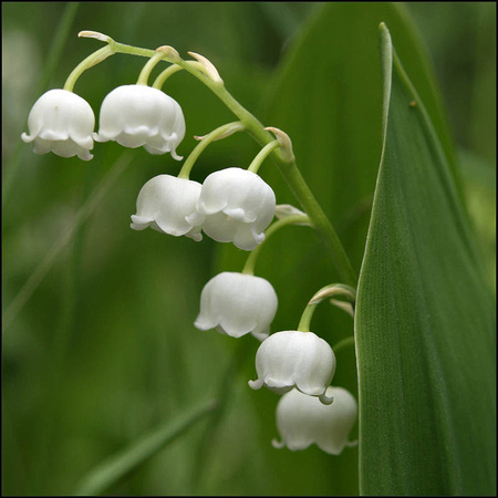 20080525102145 lilly of the vally (97600002).jpg