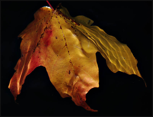 20081027172643 bleeding leaf (105154332).jpg